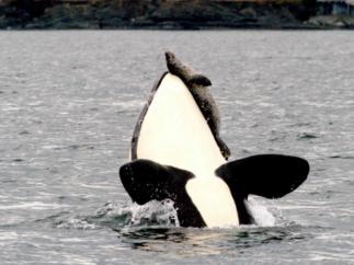 orca hunting seal
