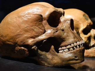 neanderthal and human skulls