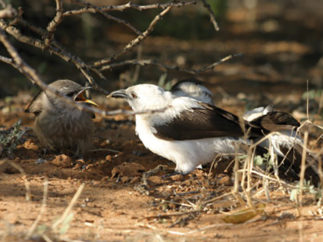Adult and juvenile pied babbler