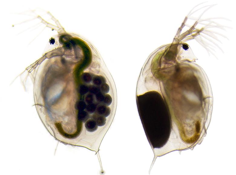Daphnia magna females with eggs