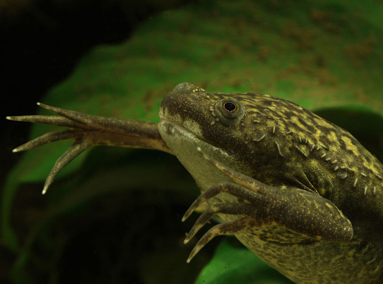 African clawed frog swimming
