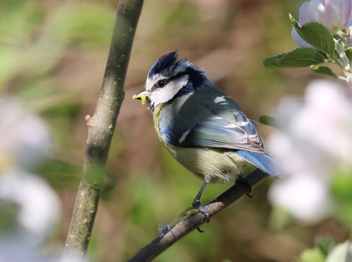 Blue tit with prey