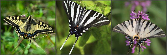 panel of 3 swallowtail butterflies