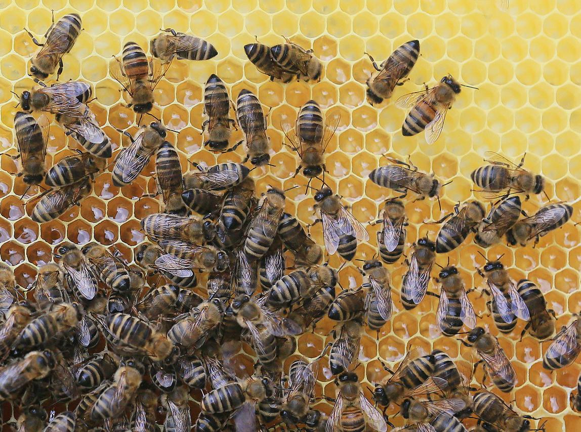 honeybees and honeycomb