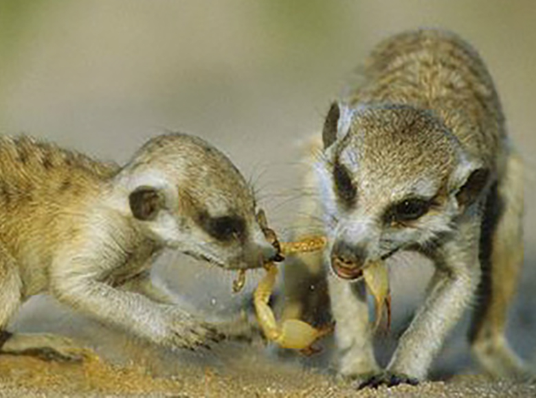 Adult and juvenile meerkats with scorpion