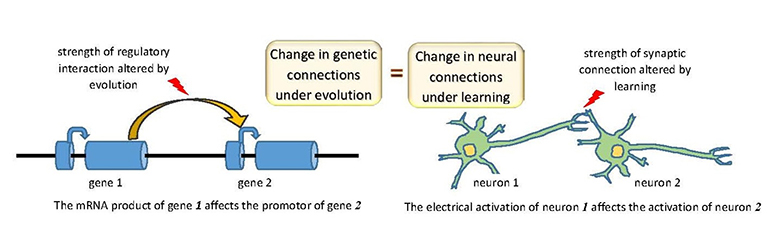 gene and neural networks are analygous