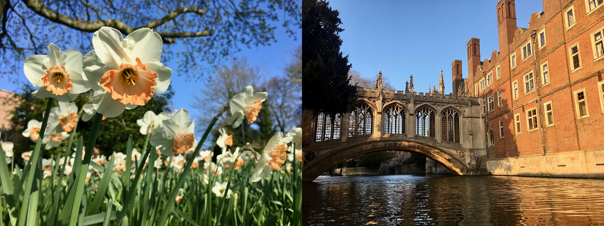 Left: daffodils in full bloom. Right: Bridge of Sighs as seen from the River Cam.