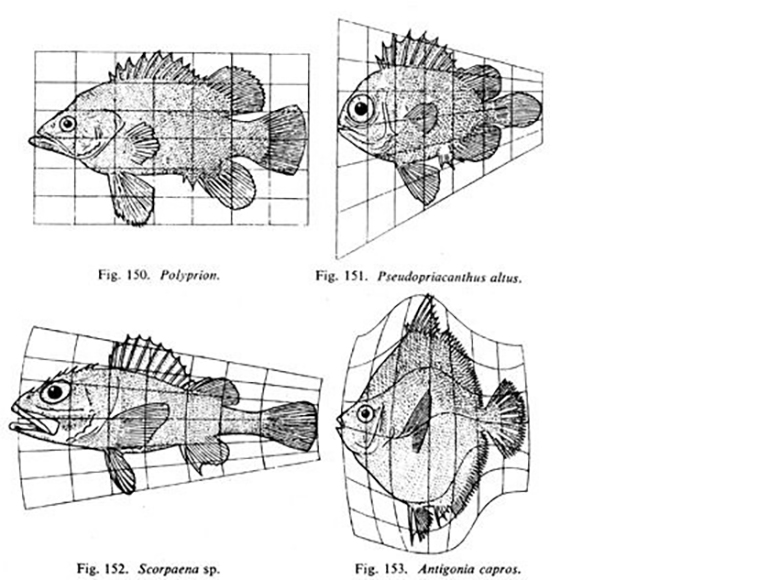 On Growth and Form illustrations of fish transformed on Cartesian grids
